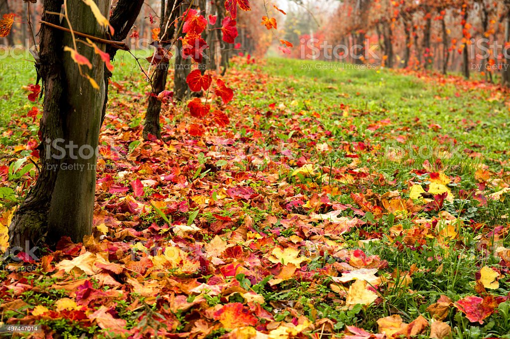 Beautiful colorful vineyard in Italy in autumn stock photo