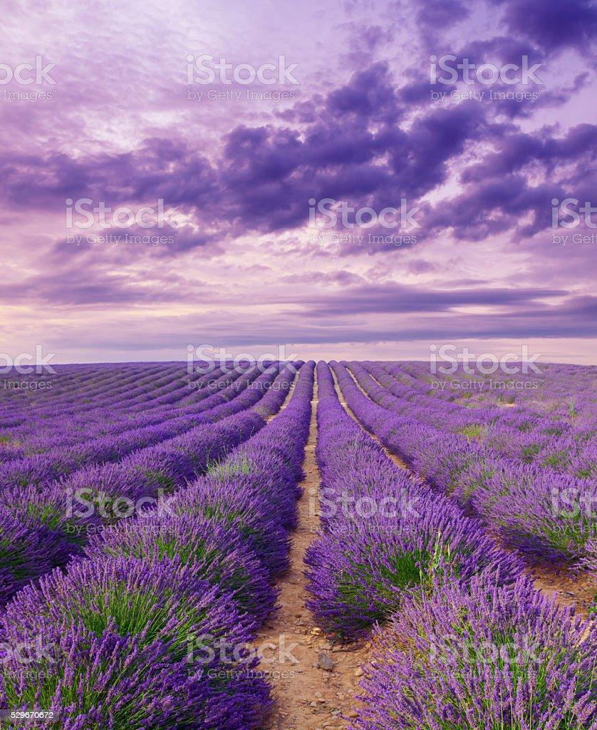 Beautiful colors purple lavender fields near Valensole, Provence stock photo