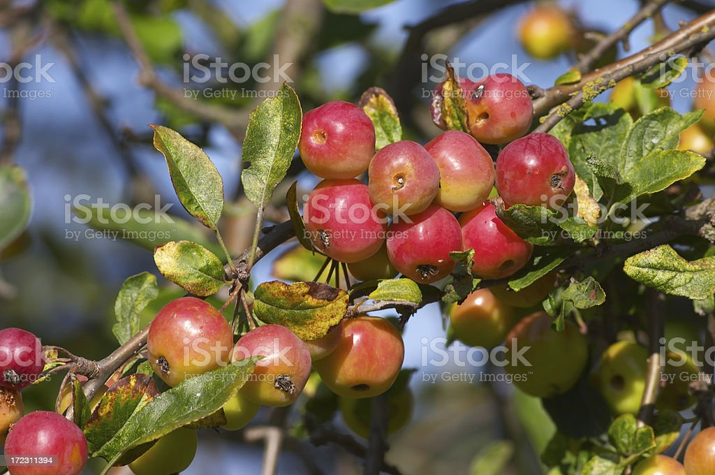 Autumn harvest gorgeous red-pink crab apples stock photo