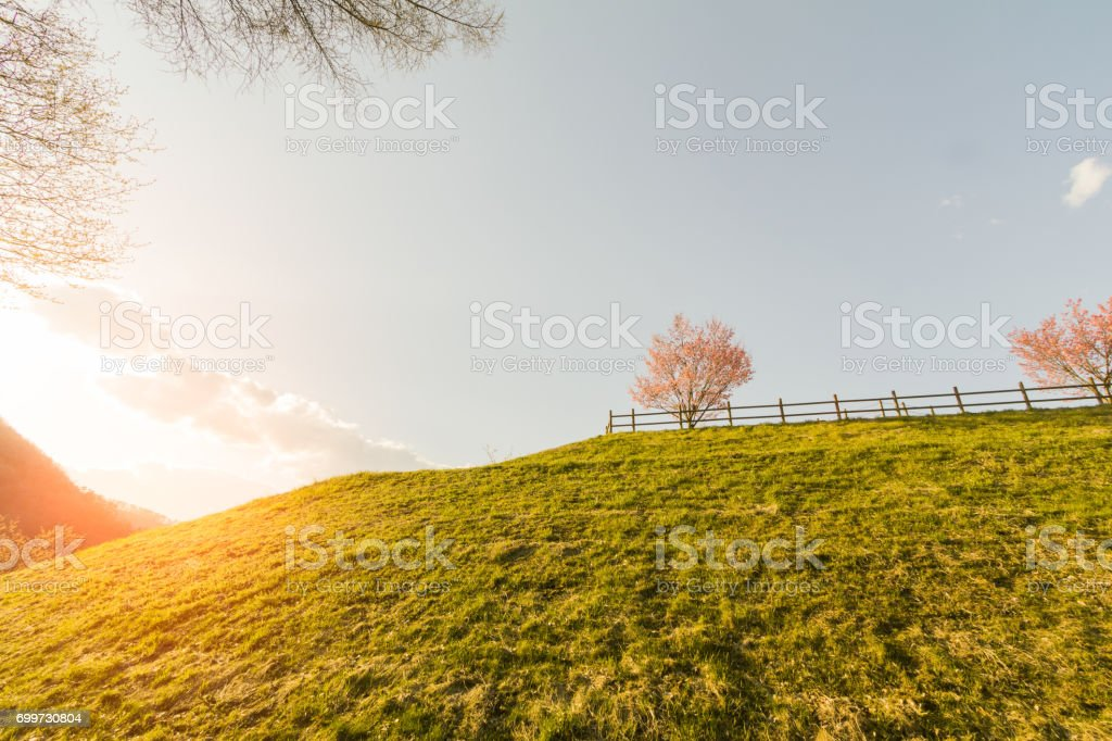 Beautiful  colourful  flowers  of cherry blossom sakura blooming  tree on summer or spring day and  rays of sunset on sky background. stock photo