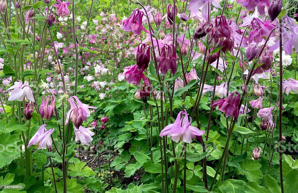Beautiful Columbine Flower Garden stock photo