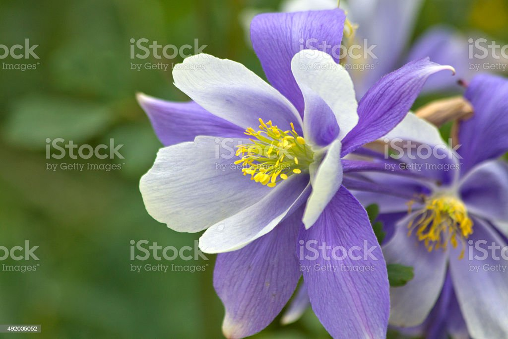 columbine flower pictures, images and stock photos  istock, Beautiful flower