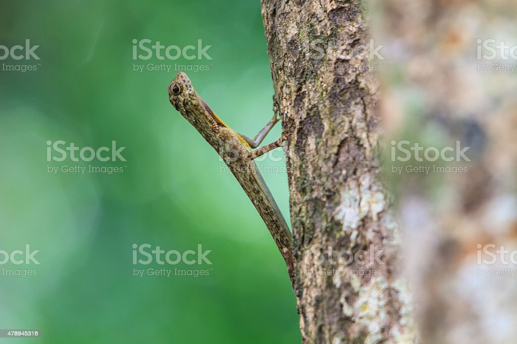 beautiful Common Gliding Lizard or Common Flying Drago stock photo
