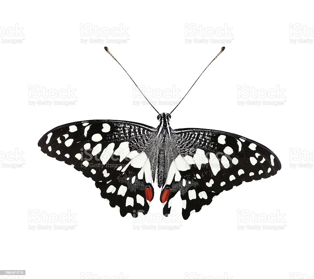 Beautiful Common Lime Butterfly or Swallowtail isolated stock photo