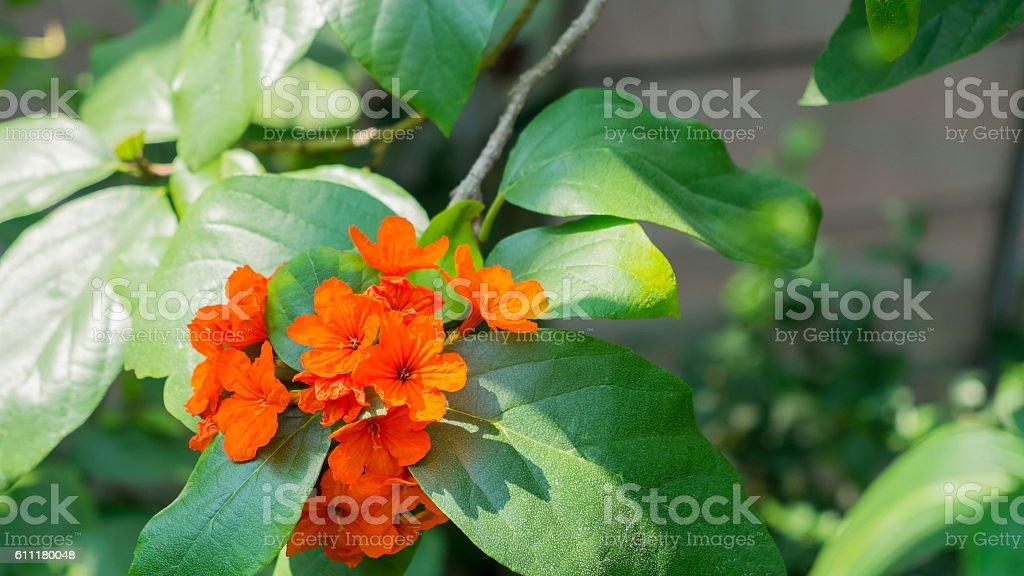 Beautiful Cordia sebestena, orange flower stock photo