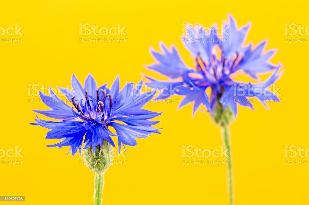 beautiful cornflower isolated on yellow background stock photo