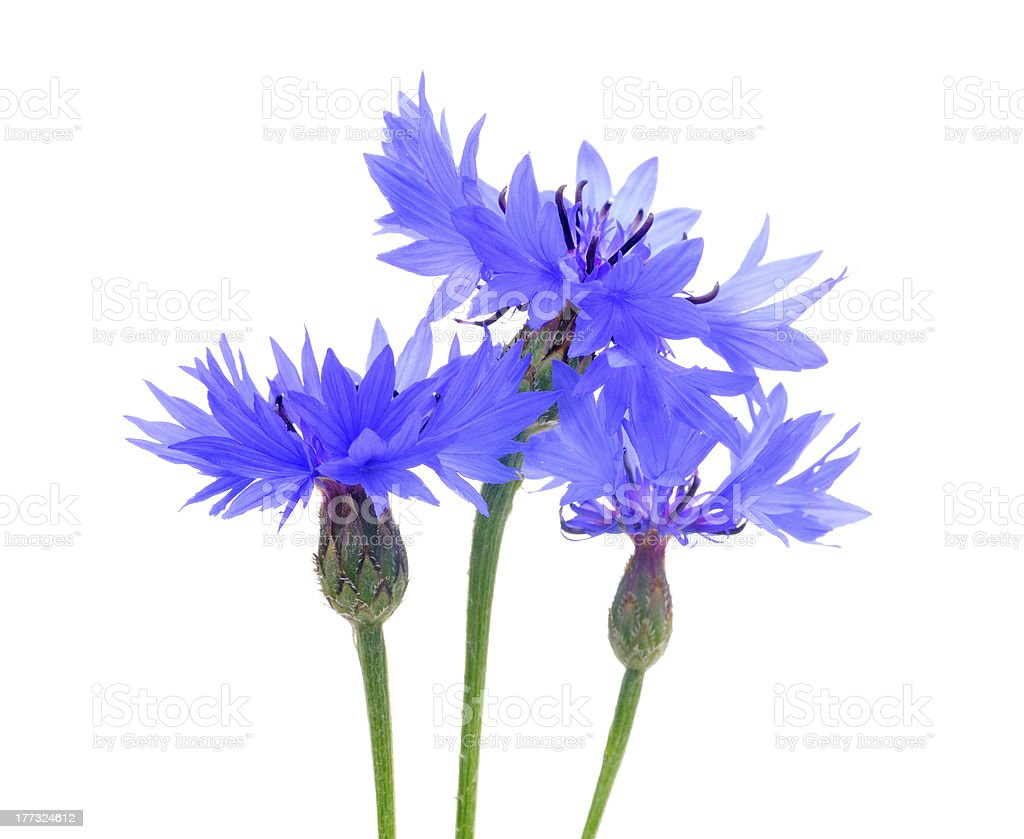 Beautiful Cornflowers royalty-free stock photo