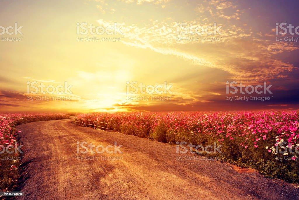 beautiful cosmos flower field stock photo