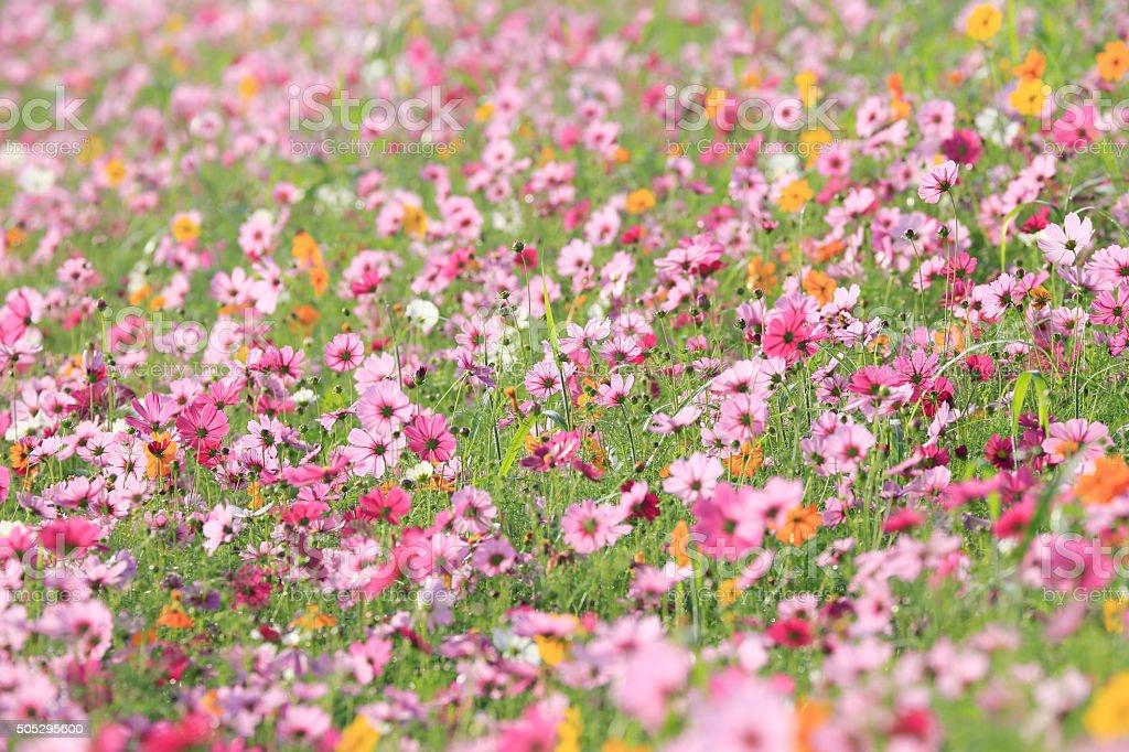 Beautiful Cosmos Flower in the Garden stock photo