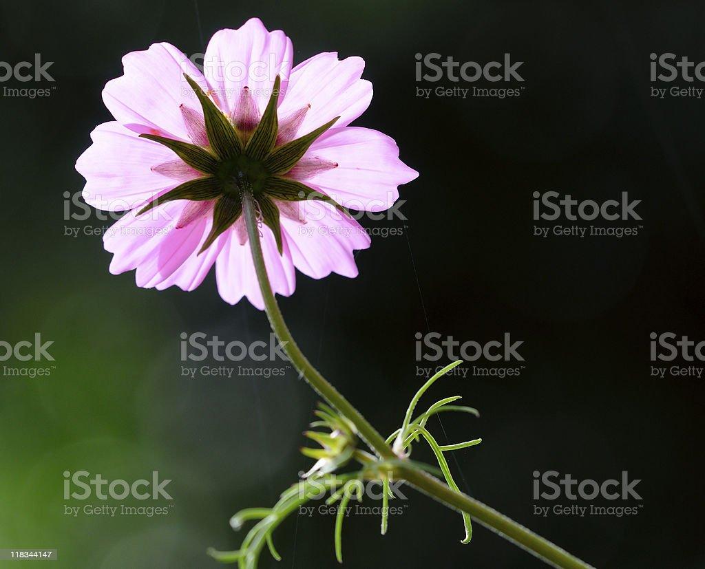 Beautiful Cosmos flower on dark background royalty-free stock photo