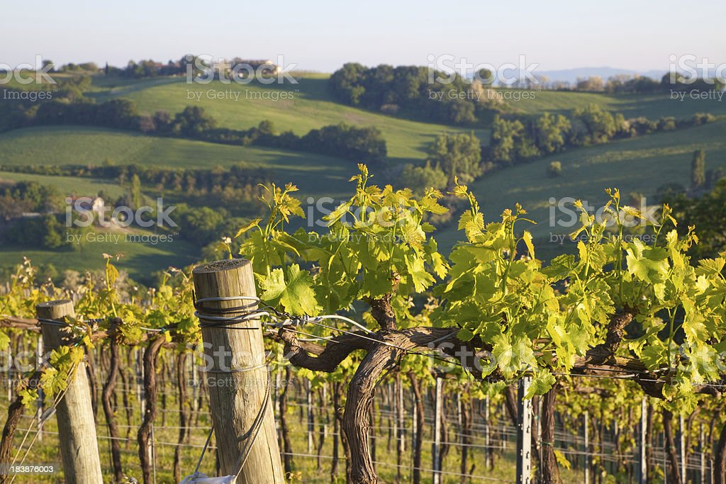 Beautiful countryside with vineyards in Italy stock photo