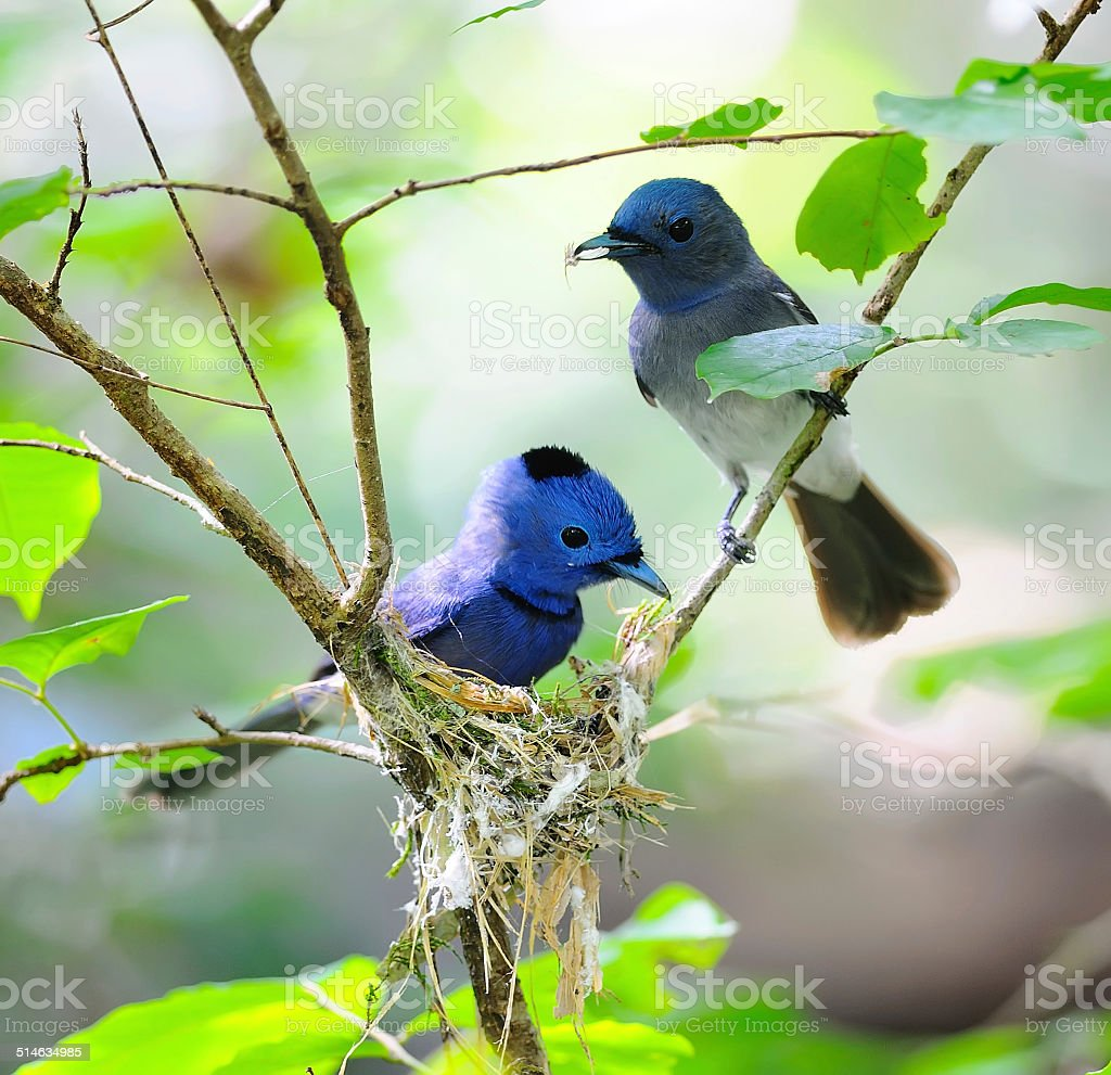Beautiful Couple Bird (Black-naped Monarch) in nature, in Thaila stock photo