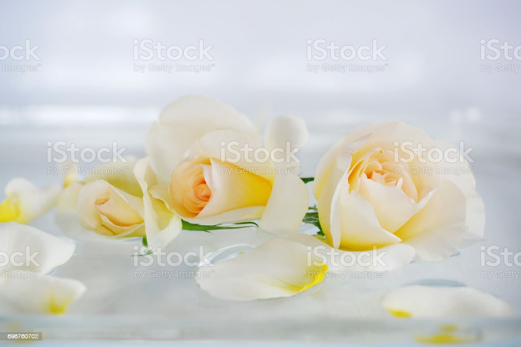 Beautiful cream, white roses and scattered petals on an abstract white background with a soft focus. stock photo