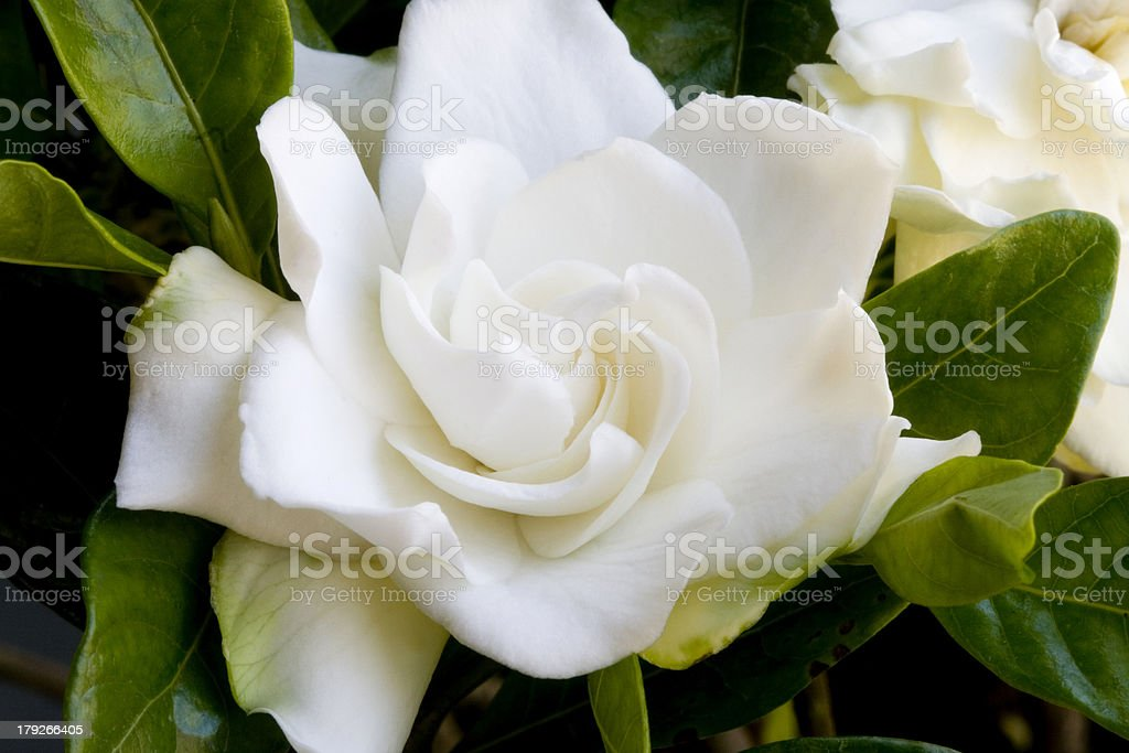 A beautiful crisp white rose in a bouquet stock photo