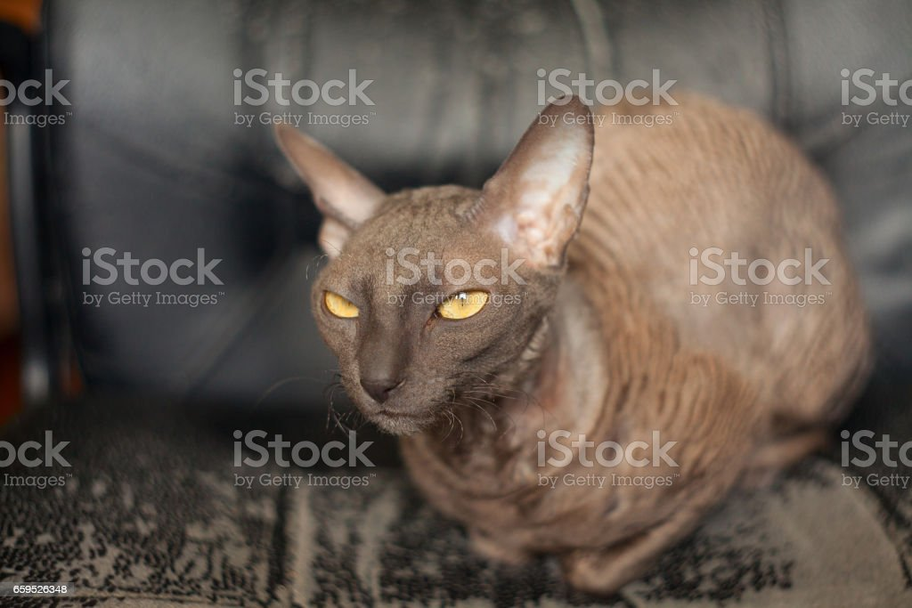 Beautiful curly-haired cat is angry and looking into the camera stock photo