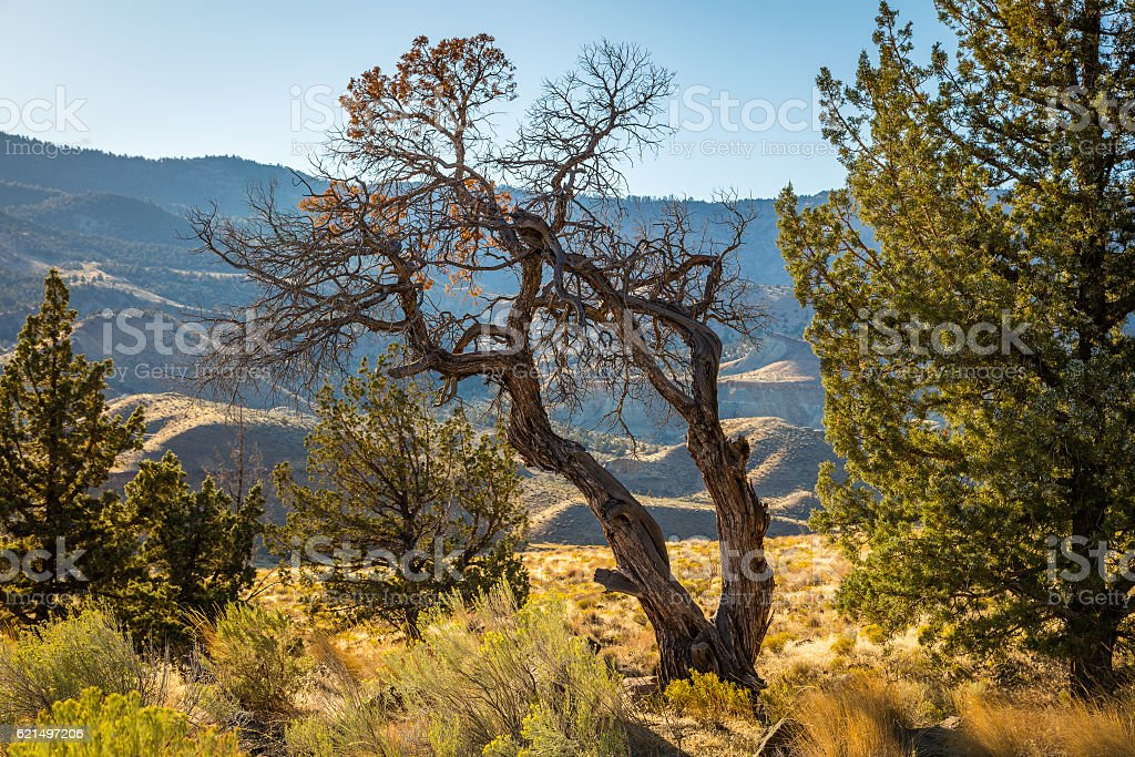 Beautiful curved dry tree. Dry landscape of rocks. stock photo