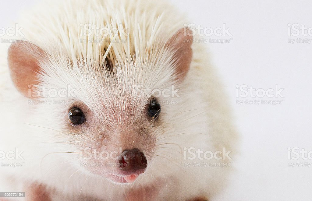 beautiful cute and sweet  young rodent pet african pygmy hedgehog stock photo