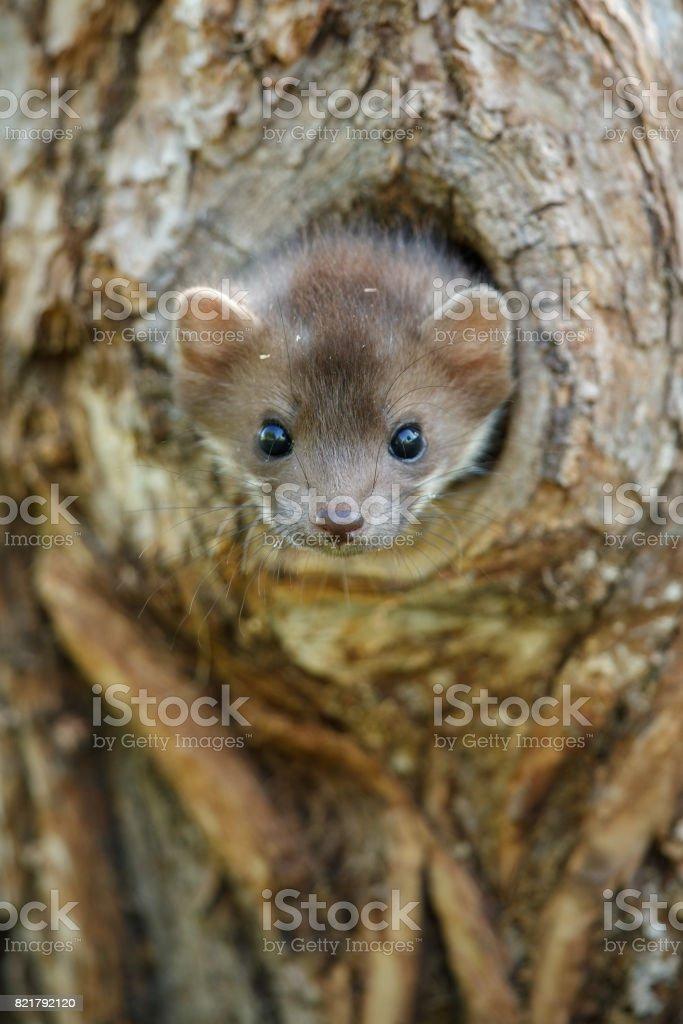 Beautiful cute beech marten, forest animal, Martes foina, Stone...