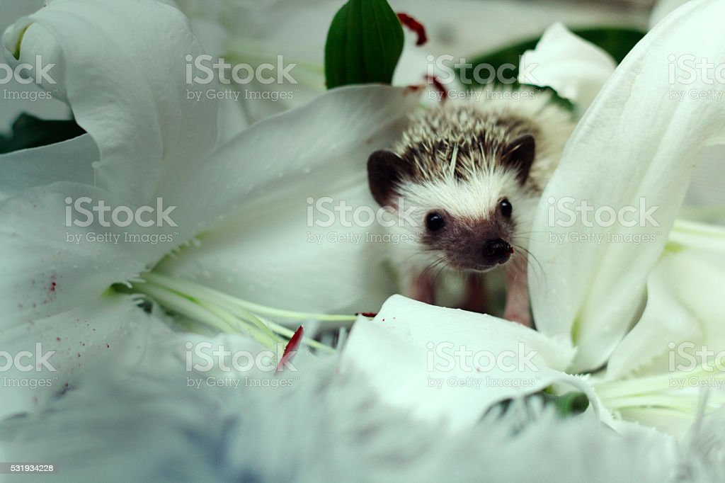 beautiful, cute, comic and young hedgehog baby on the plush stock photo