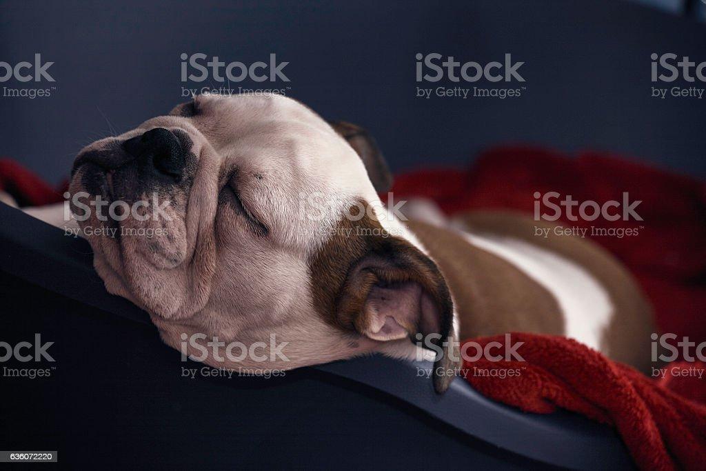 beautiful cute puppy dog sleeps - head portrait stock photo