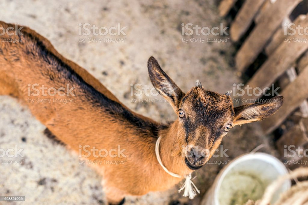 Beautiful, cute, young brown goat looking at you stock photo