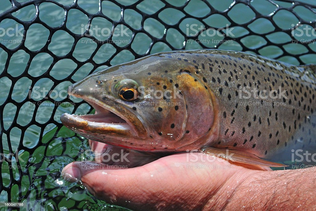 Beautiful Cutthroat trout awaits release royalty-free stock photo