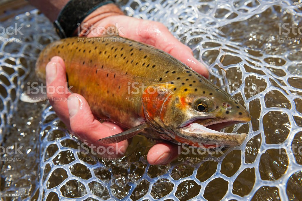 Beautiful Cutthroat Trout stock photo