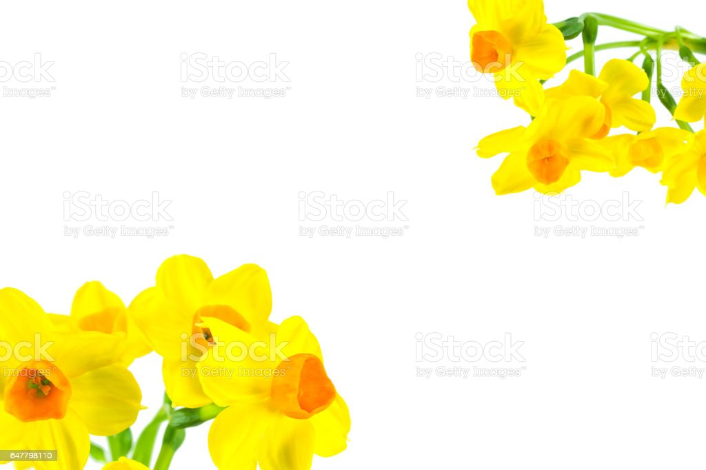 beautiful daffodil flower isolated on white background stock photo