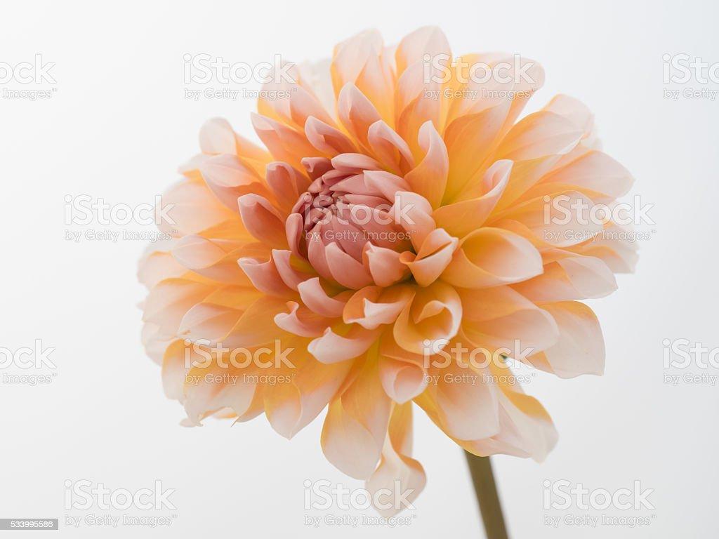Beautiful dahlia on the white background stock photo