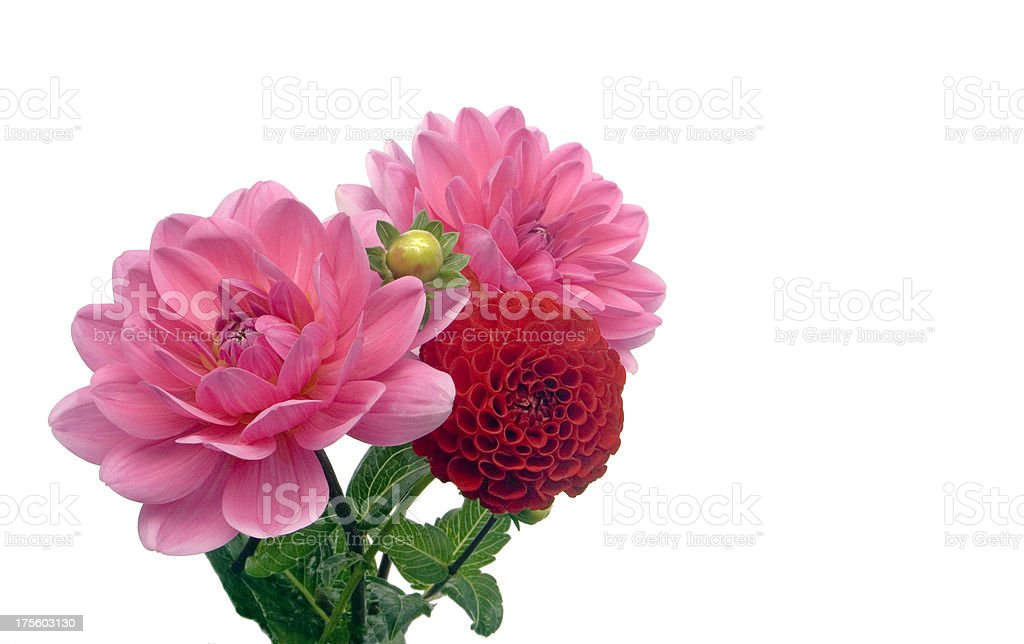 Beautiful Dahlias royalty-free stock photo