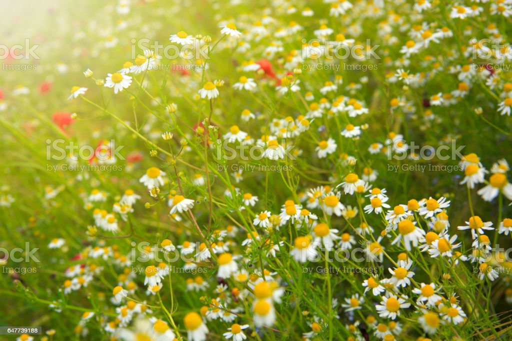Beautiful daisies field stock photo