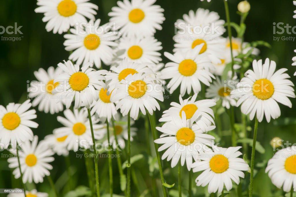 Beautiful Daisies, Leucanthemum ircutianum stock photo