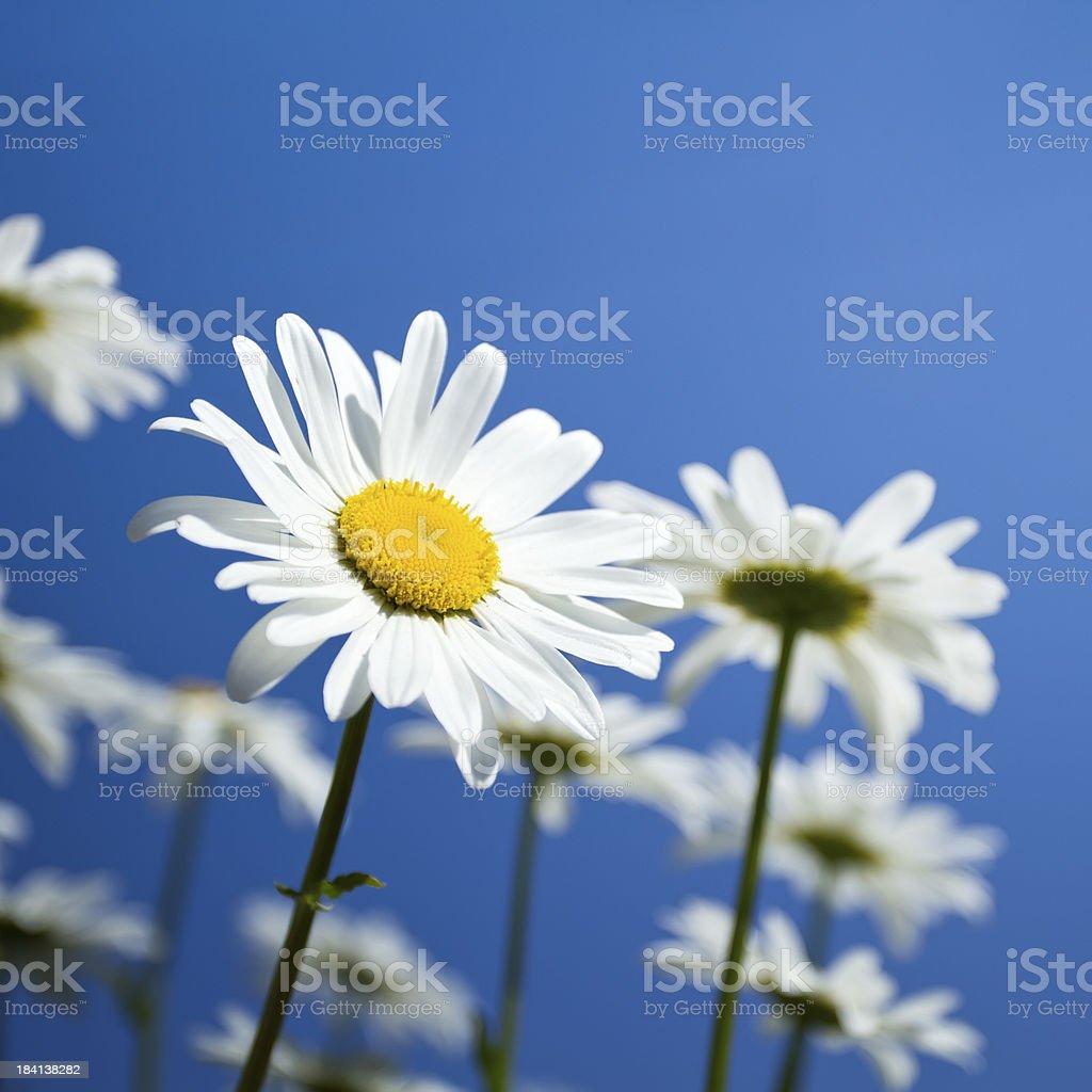 Beautiful Daisies stock photo
