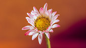 beautiful daisy flower isolated