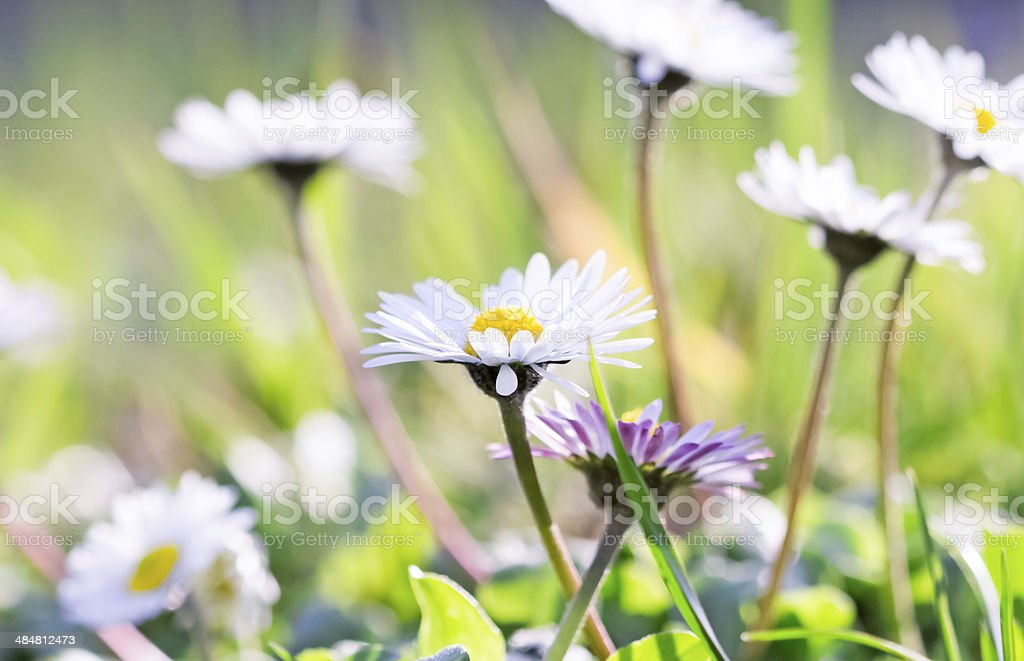 Beautiful Daisy in a meadow stock photo