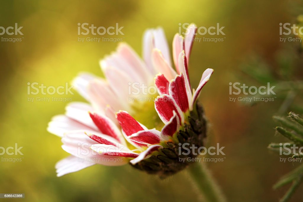 Beautiful Daisy (Bellis perennis) in the early morning stock photo