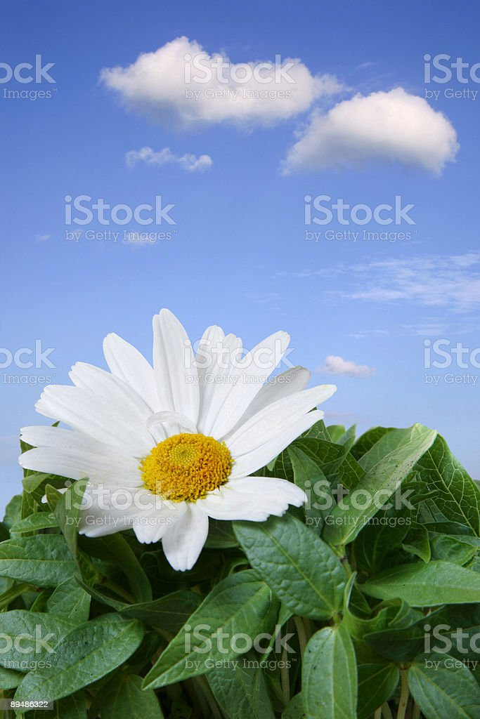 Beautiful Daisy Macro royalty-free stock photo