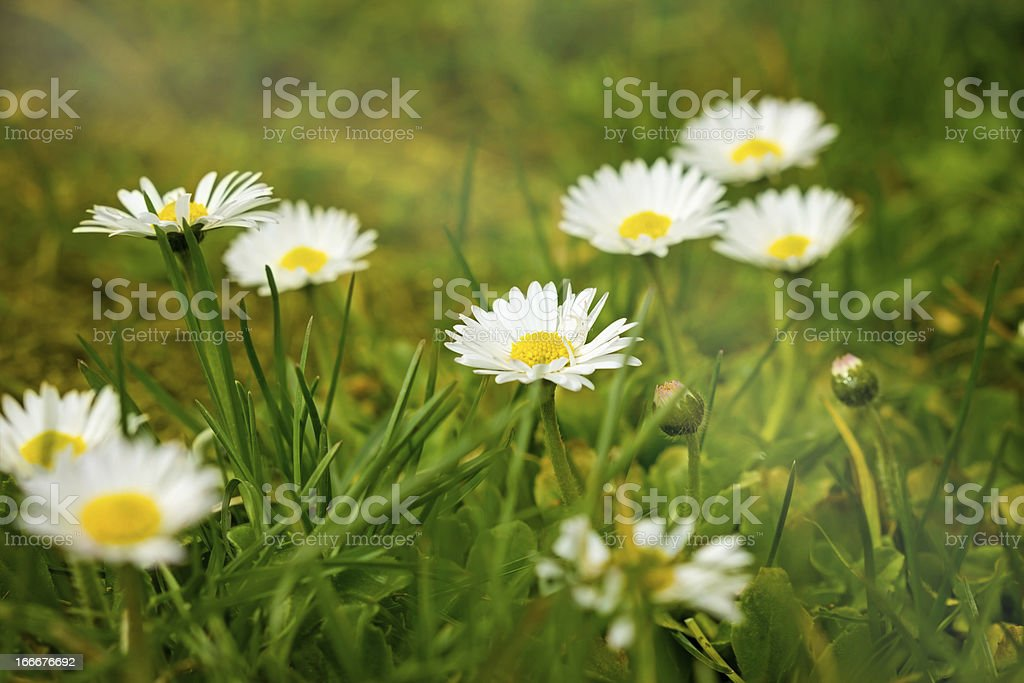 Beautiful Daisy royalty-free stock photo