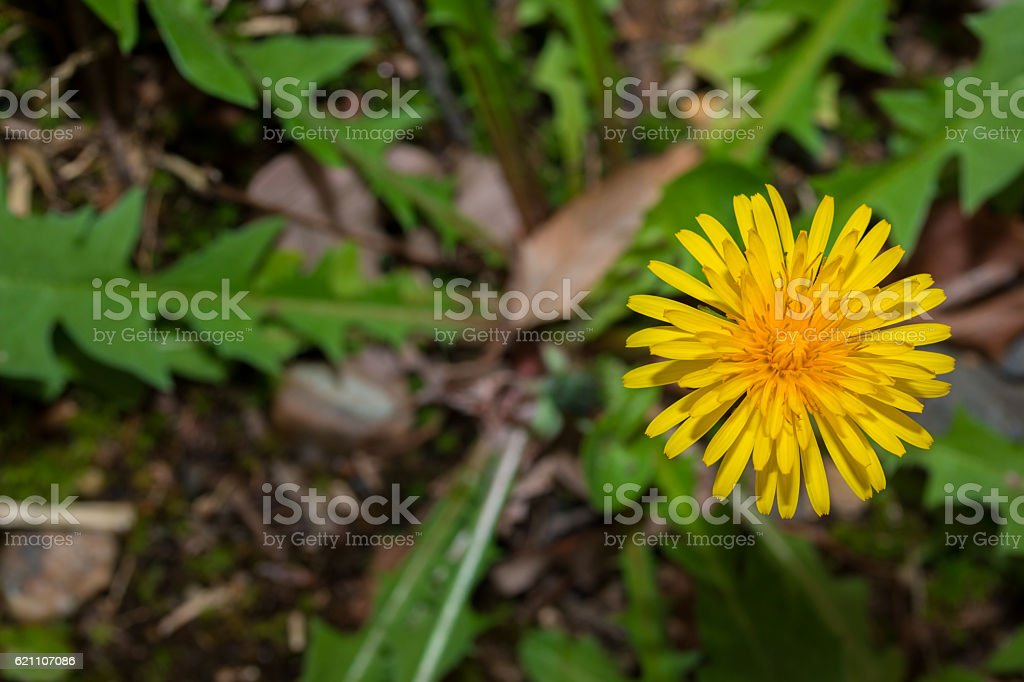 Beautiful Dandelion flower in nature with copy space. stock photo