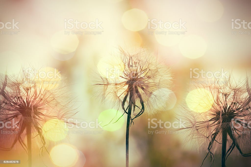 Beautiful dandelion seeds lit by sunlight stock photo