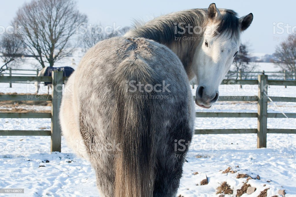 Beautiful dapple grey horse looks back toward the camera royalty-free stock photo