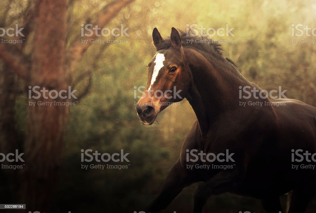 Beautiful dark black-brown stallion running wild spring landscap stock photo