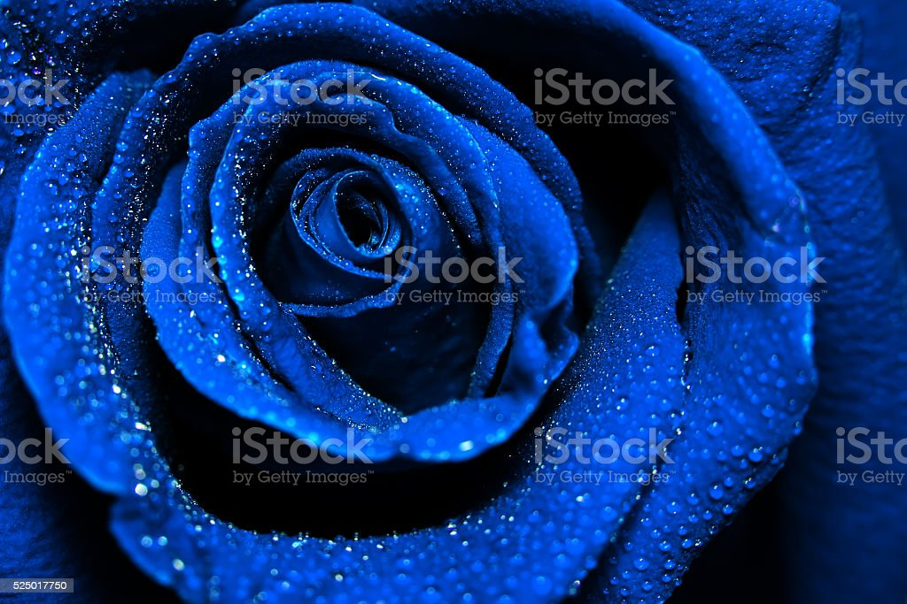 beautiful dark blue rose with water dew drops stock photo