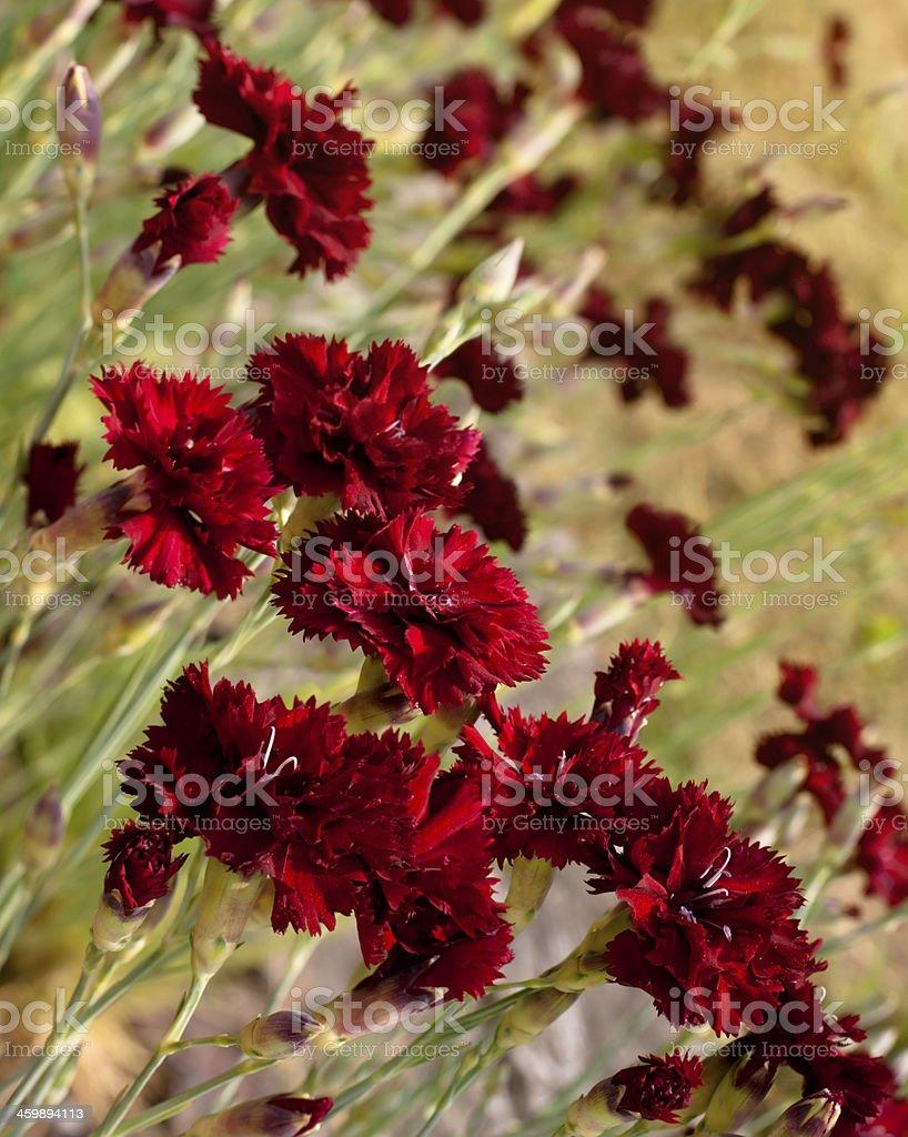 Beautiful dark red carnation flowers on field stock photo