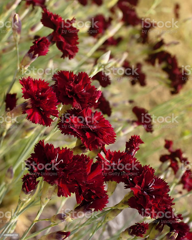 Beautiful dark red carnation flowers on field stock photo