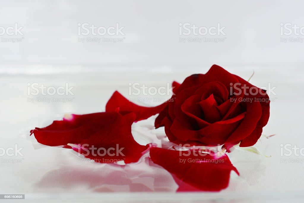 Beautiful dark red velvet rose and scattered petals on an abstract white background with soft focus. stock photo