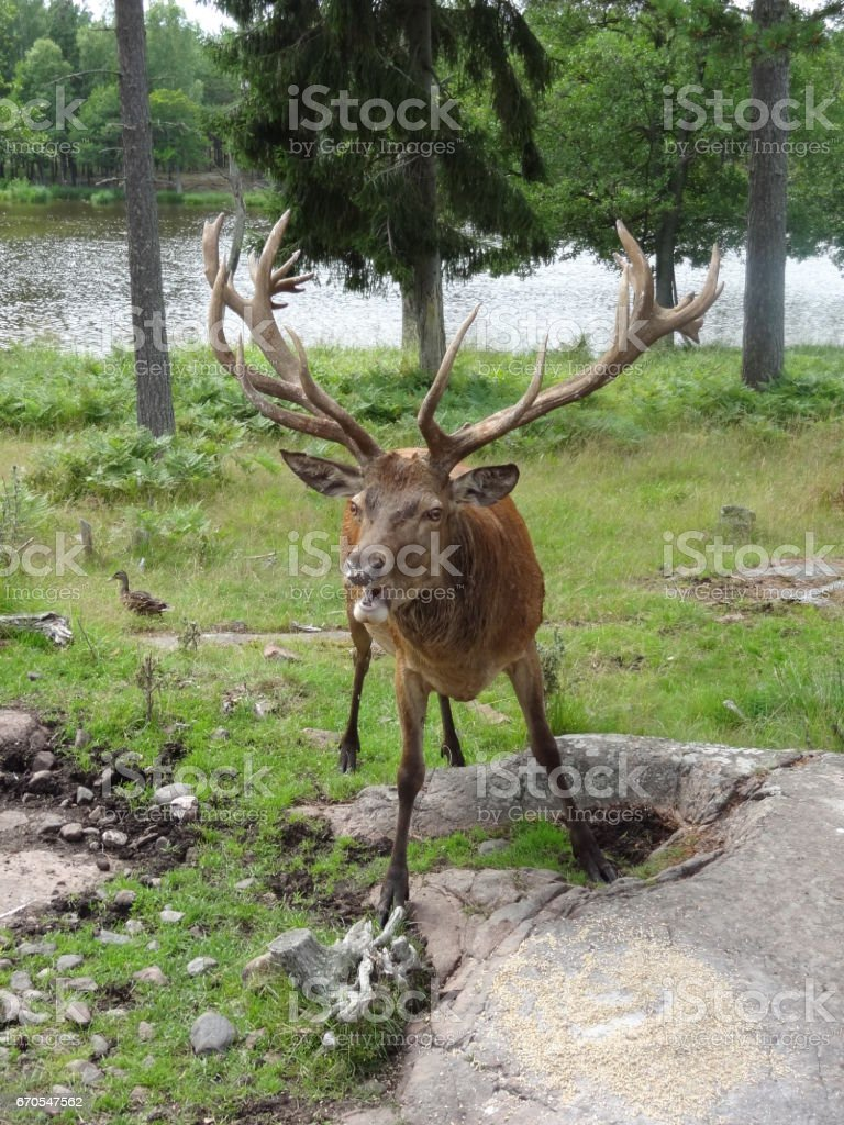 Beautiful deer with trees and forest in Åland in Finland stock photo