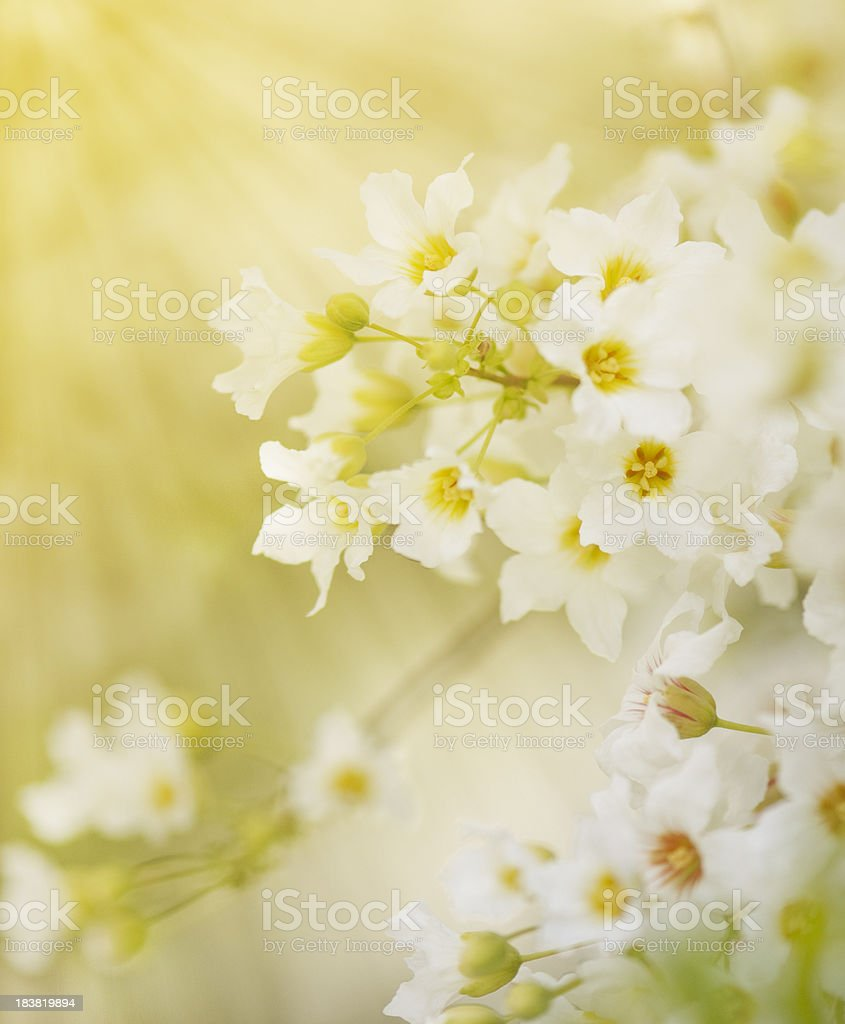 Beautiful delicate white flowers with sunlight stock photo
