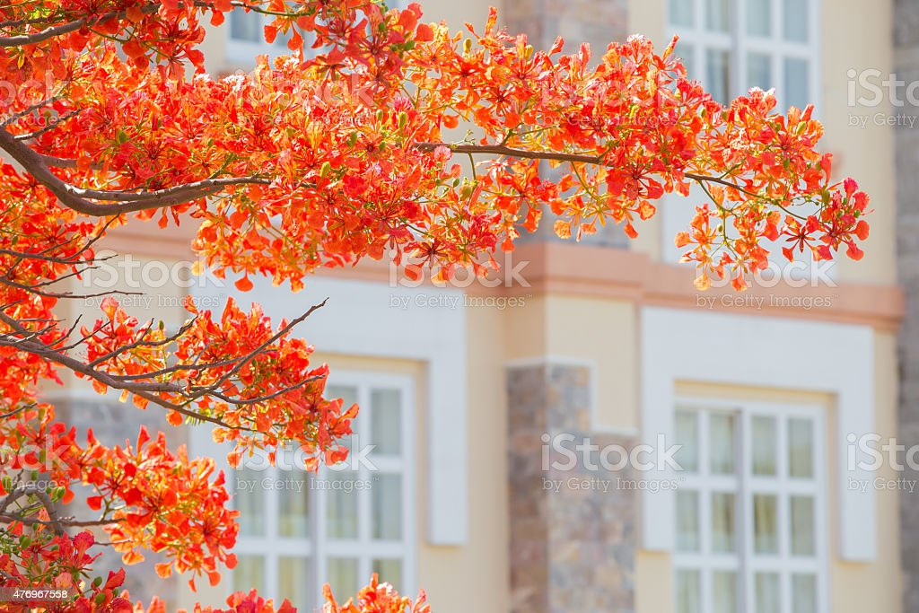 Beautiful Delonix Regia in red bloom in a park. royalty-free stock photo