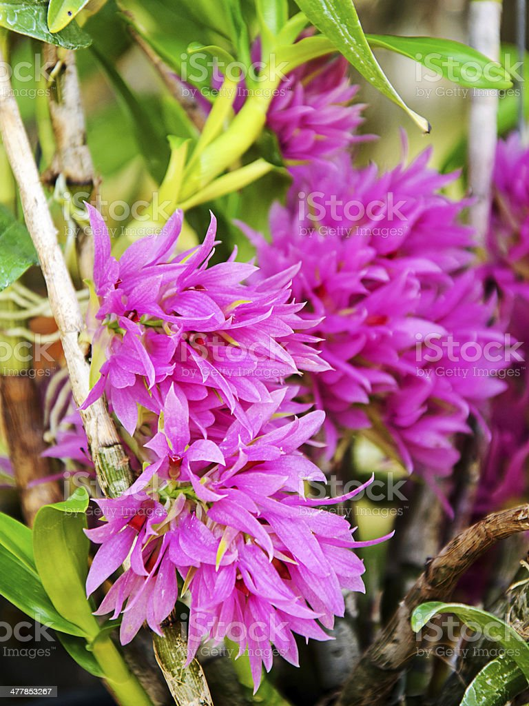 Beautiful dendrobium orchid royalty-free stock photo